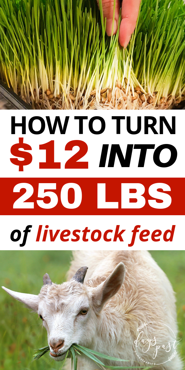 Are you looking for ways to save money feeding your livestock? Check out my DIY fodder system that grows nutritious and lush livestock feed all year long! Feed your chickens, goats, cows, horses, and pigs for pennies! A great way to become more self sufficient and self reliant for only a few minutes work a day!Are #you #looking #for #ways #to #save #money #feeding #your #livestock? #Check #out #my #DIY #fodder #system #that #grows #nutritious #and #lush #livestock #feed #all #year #long! #Feed #