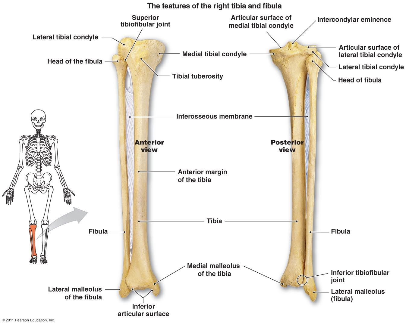 Right Tibia and Fibula | A&P.2.Skin.Bone.Muscle | Pinterest