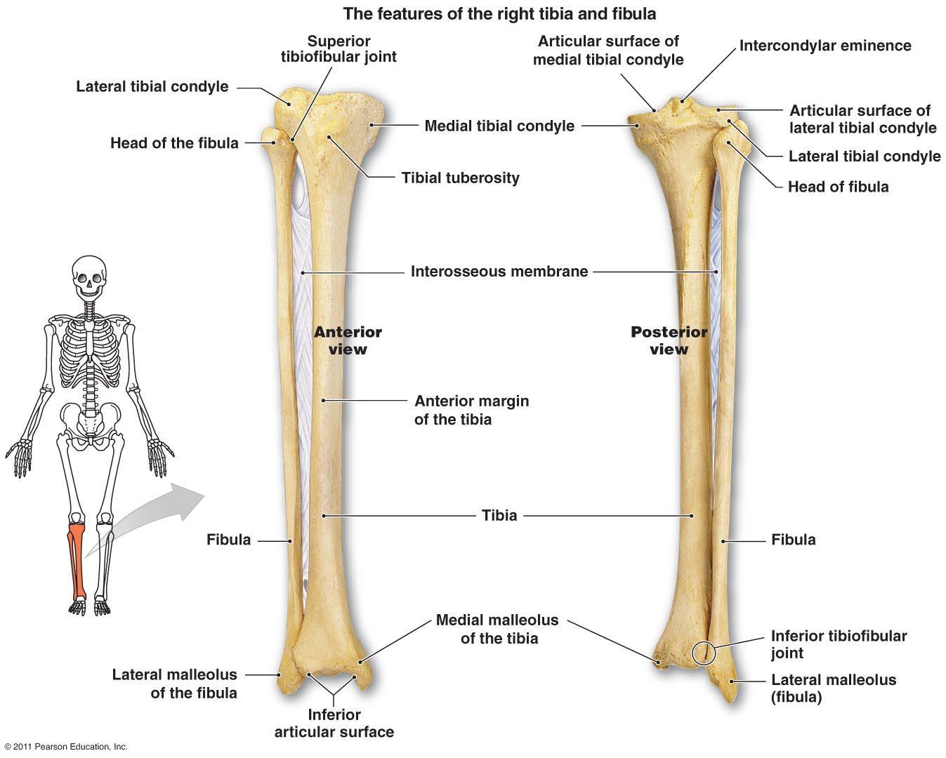 Tibia And Fibula Diagram
