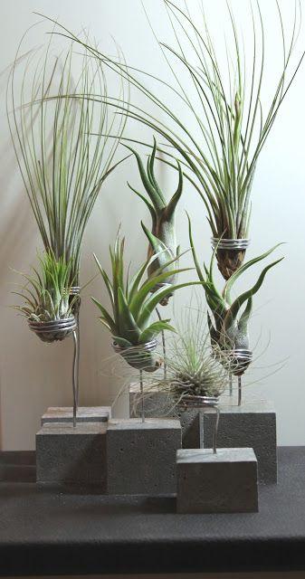 Betonhalter f r tillandsien tillandsien air plants pflanzen garten und pflegeleichte pflanzen - Pflegeleichte zimmerpflanzen mit bluten ...
