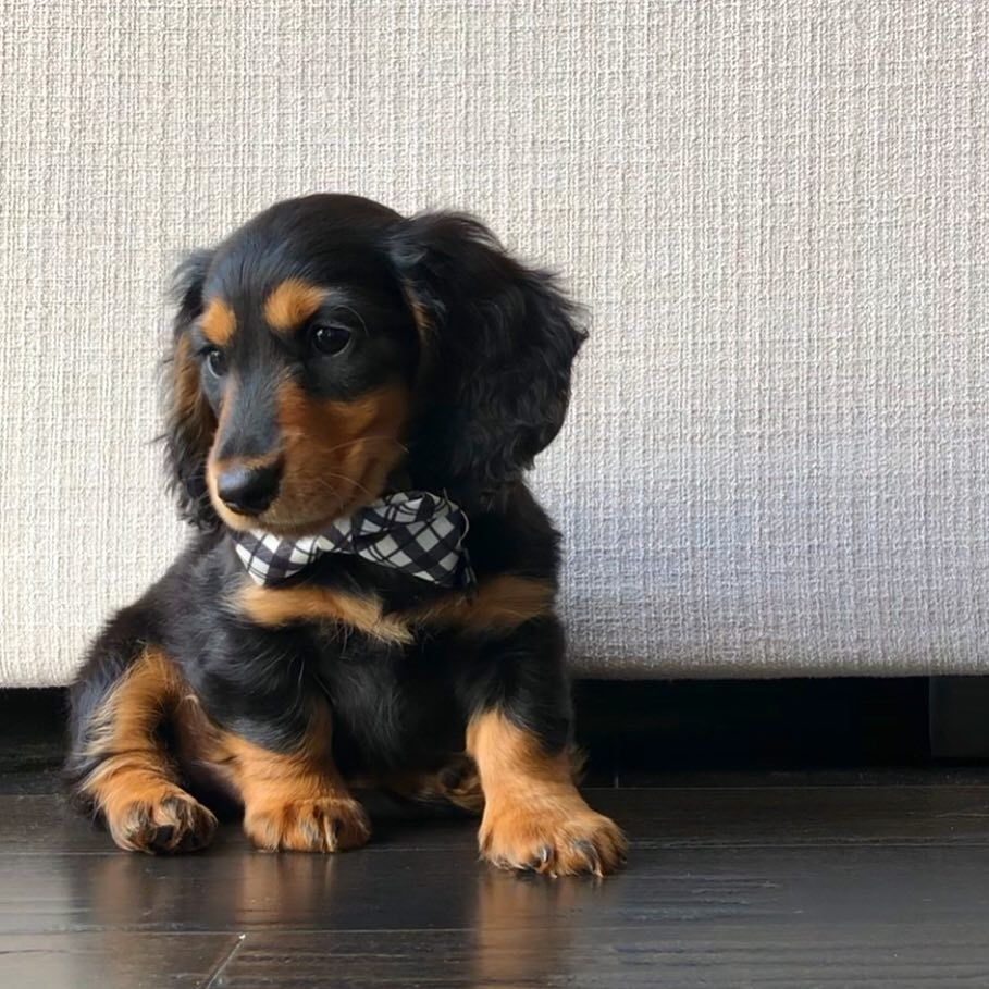 Dachshund Products Apparel And Gifts Dachshund Buy A Kitten