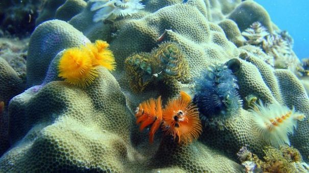 Too Cool Marine Worms Look Like Christmas Trees Marines, Ocean