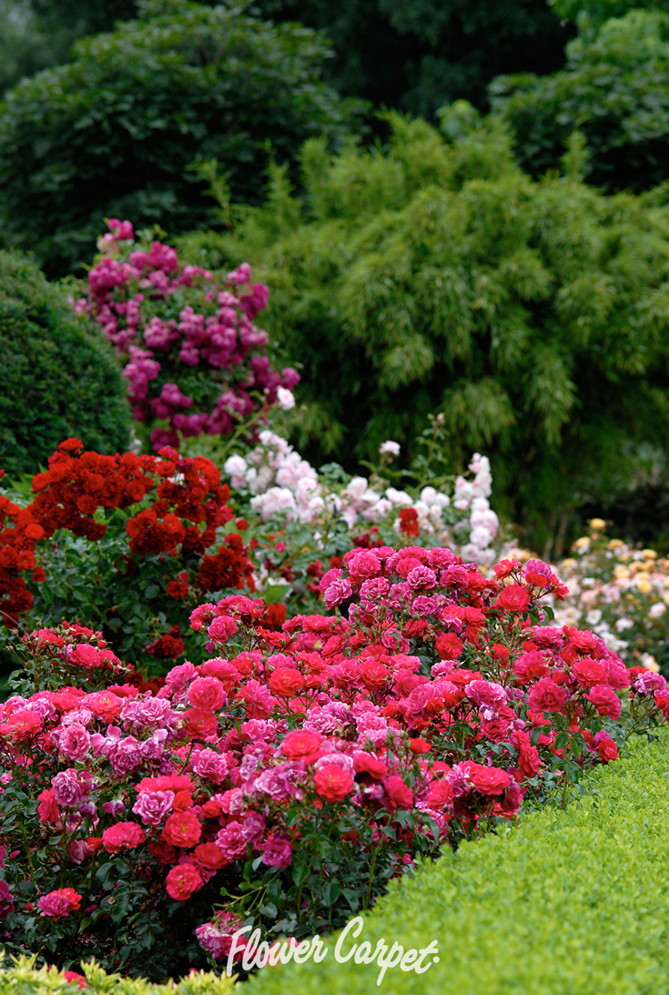 Free Flowering Mixed Varieties Of Flower Carpet Roses Pink Red And