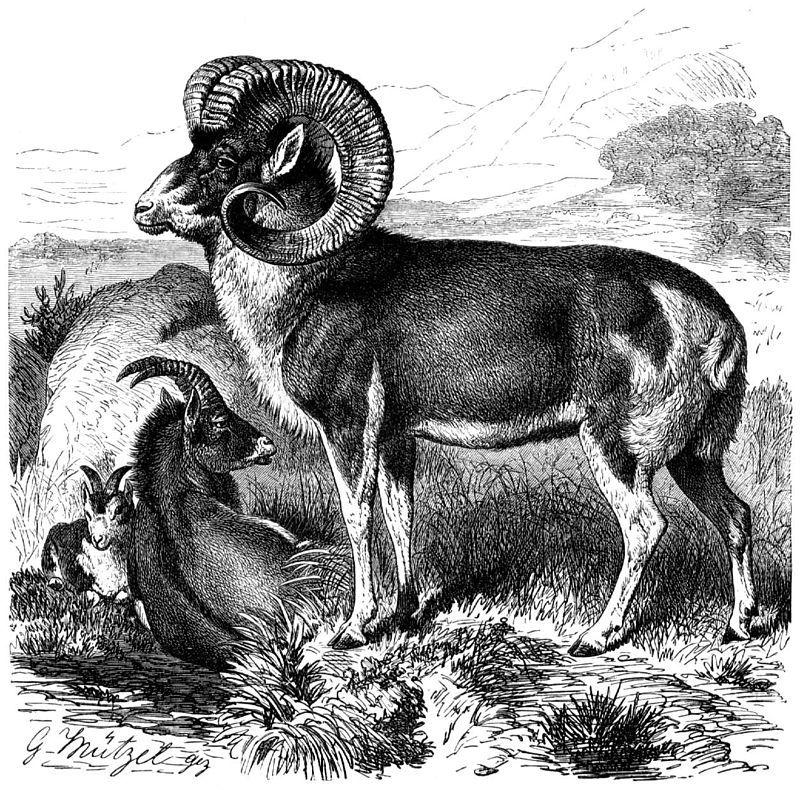 Marco Polo Sheep Pinturas De Animales Animales Dibujos