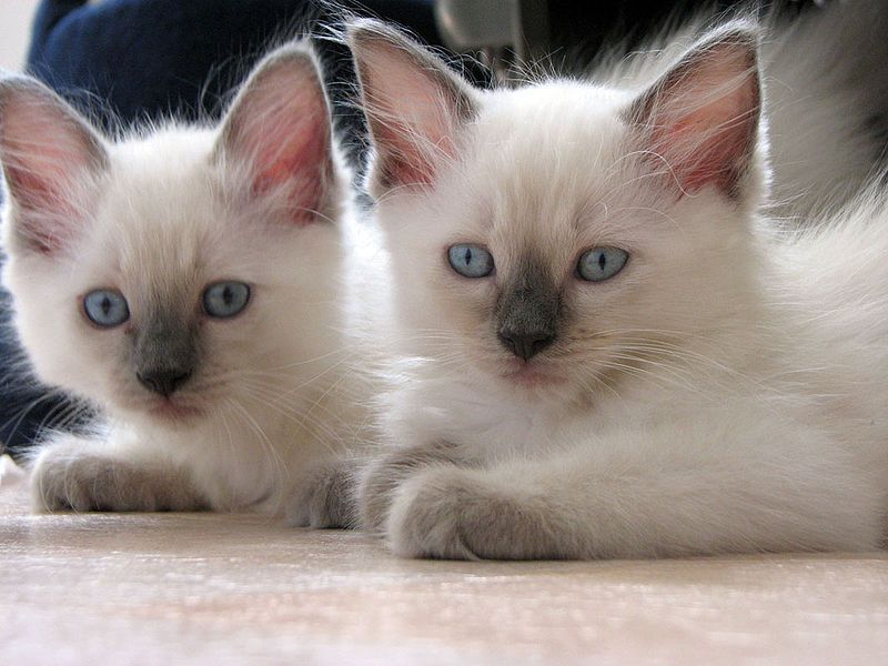 Cutie Ragdoll Ragdoll Cat Breed Cat Breeds Popular Cat Breeds