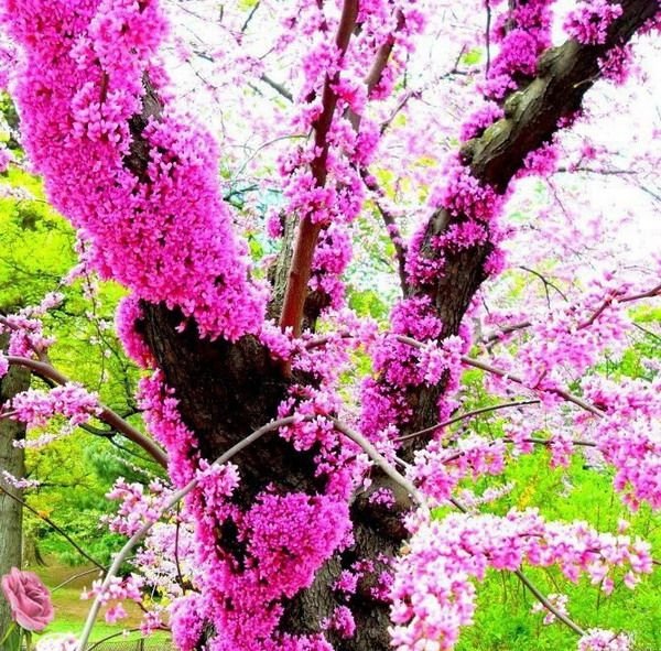 Cercis siliquastrum judas tree red bud is a deciduous spreading cercis siliquastrum judas tree red bud is a deciduous spreading bushy tree clusters of pea like bright shocking pink flowers appear in mid spring mightylinksfo