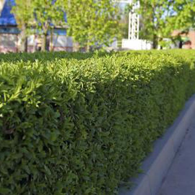 How To Find A Boxwood That Doesn T Smell Like Cat Urine Hunker Box Wood Shrub Backyard Landscaping Shrubs