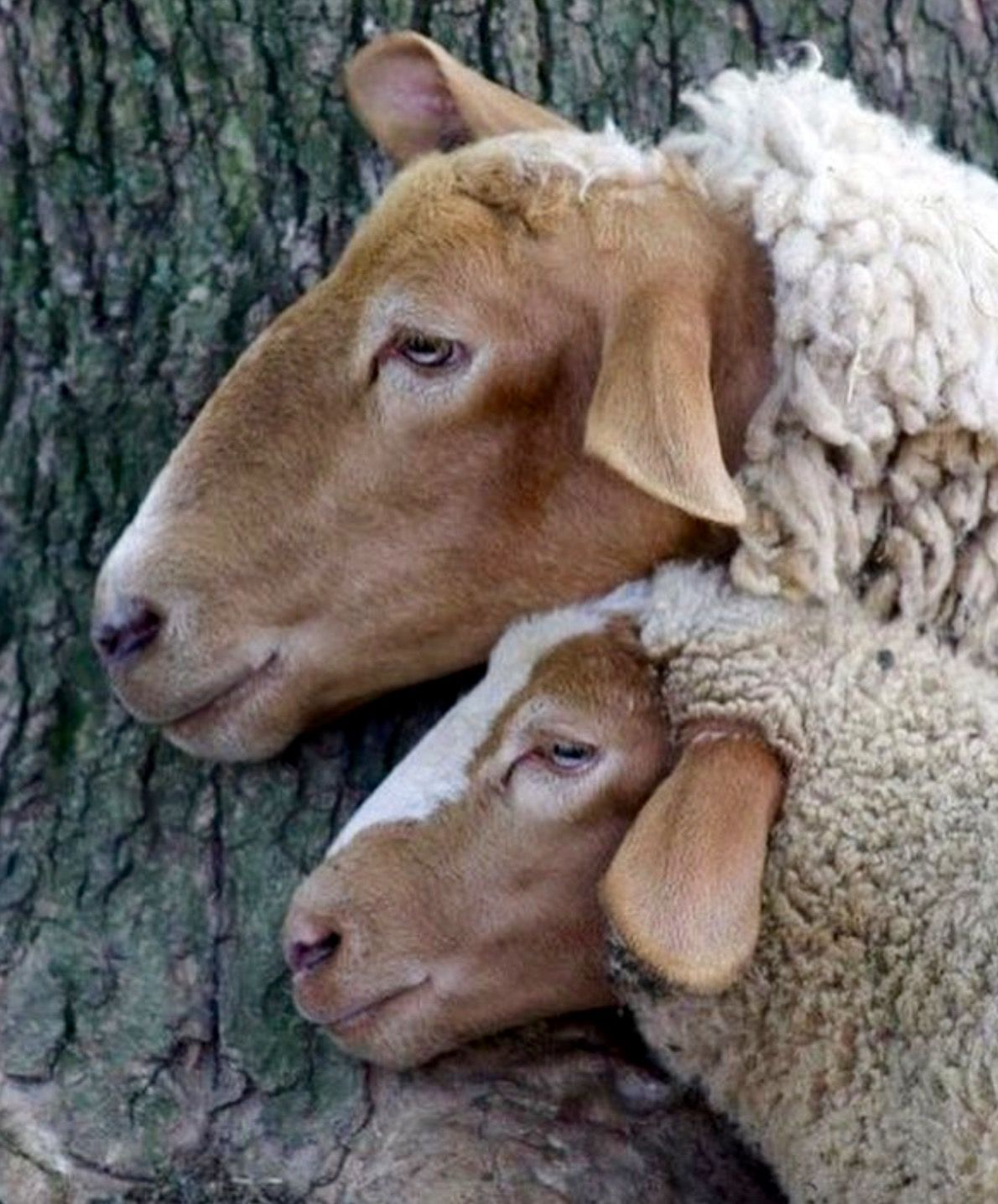 Pretty Red Sheep Are These California Reds Or Tunis Sheep And Lamb Animals Beautiful Red Sheep
