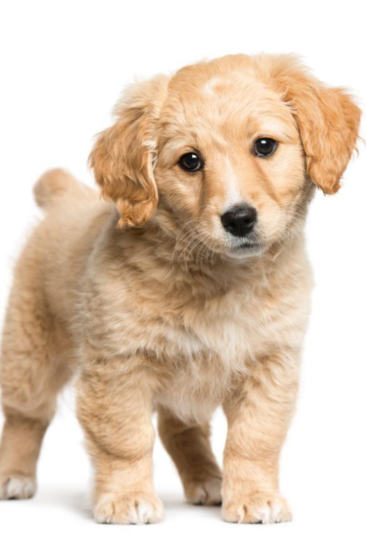 Mixed Breed Between Jack Russell Terrier And Golden Retriever 2 Months Old In Front Of White Background Gol Golden Retriever Golden Retriever Baby Retriever