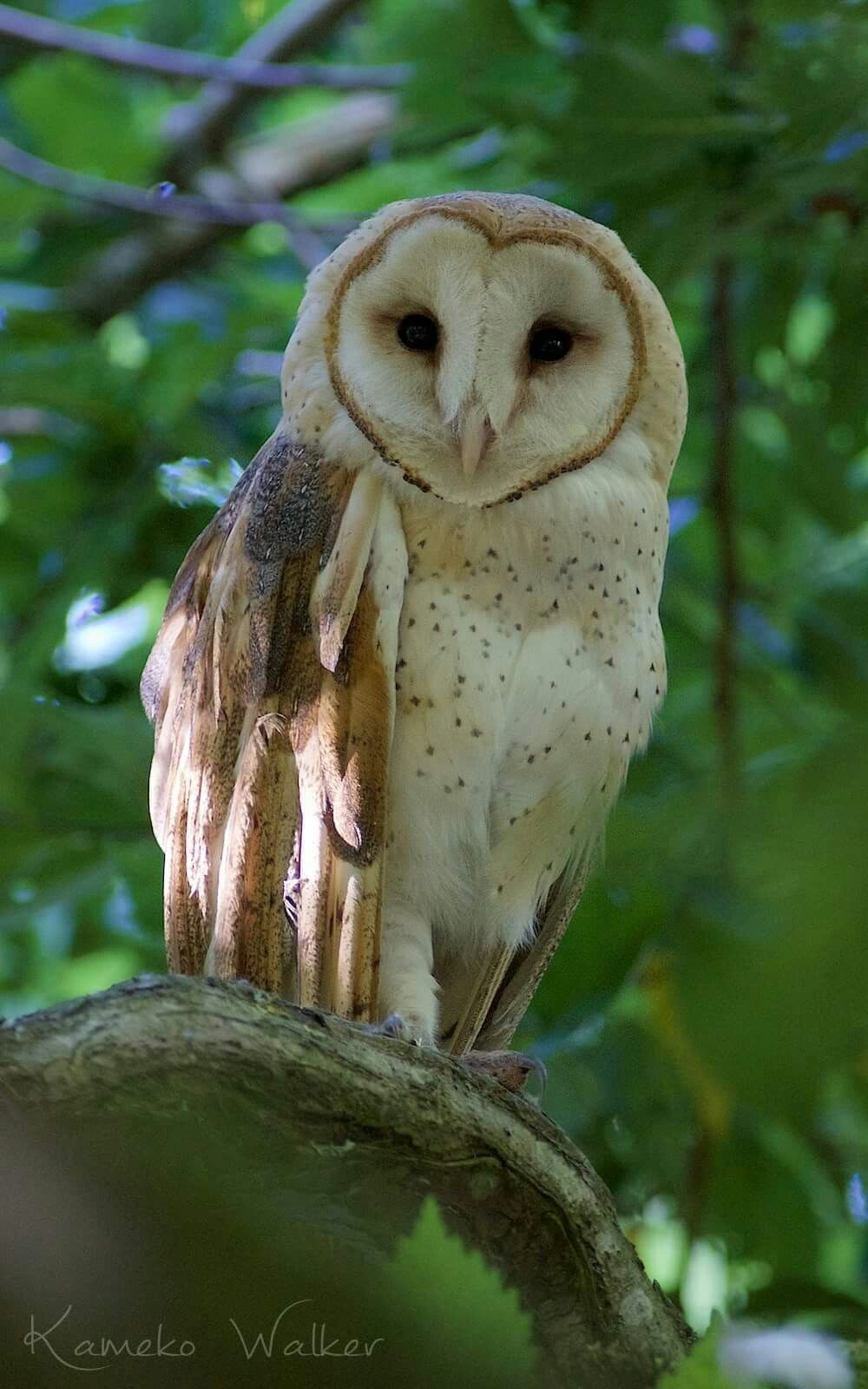 Owl pet by Nancy Stevens on Birds Barn owl, Owl pictures