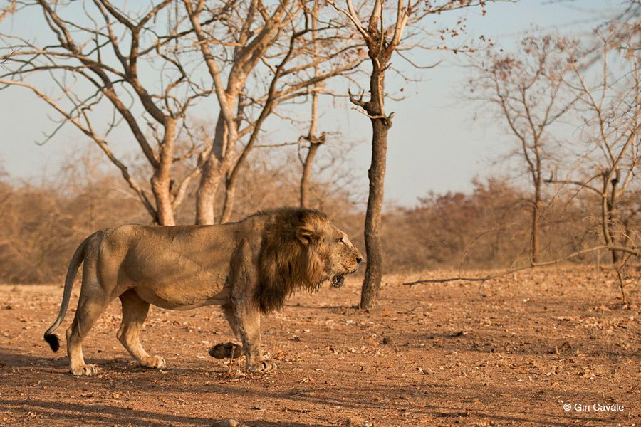 wild india lions and tigers images Google Search