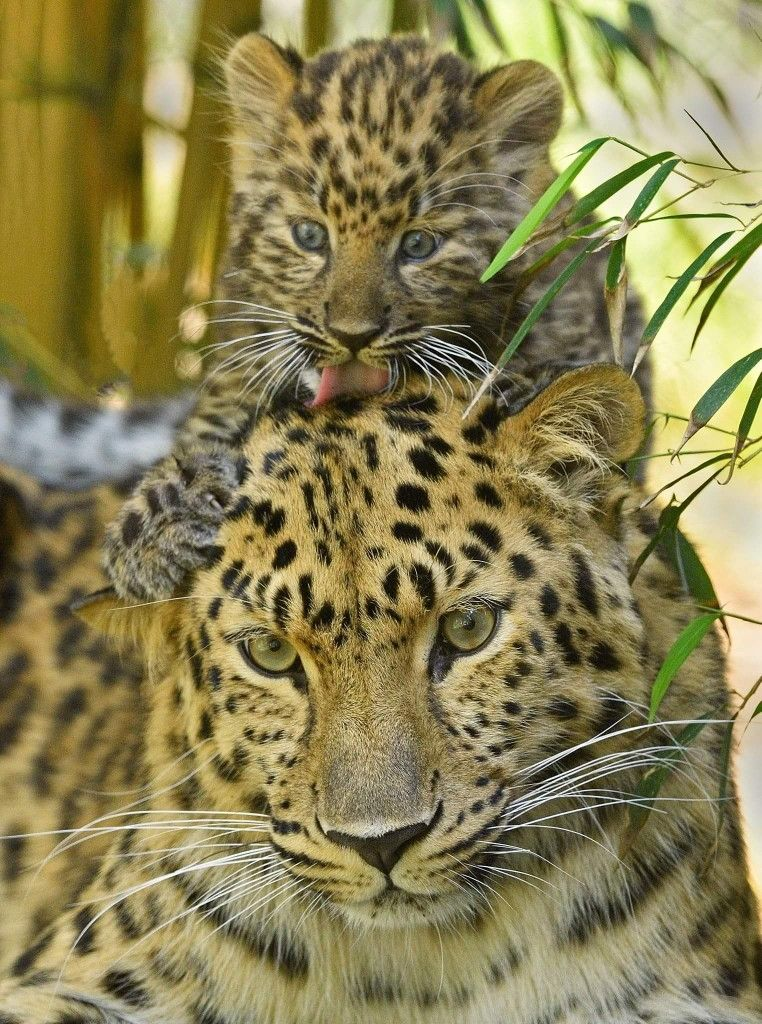 Credit San Diego Zoo Wild cats, Animals wild, Cats and