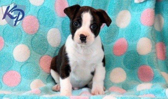 Boston Terrier Mix Puppies For Sale Terrier Mix Mixed Breed