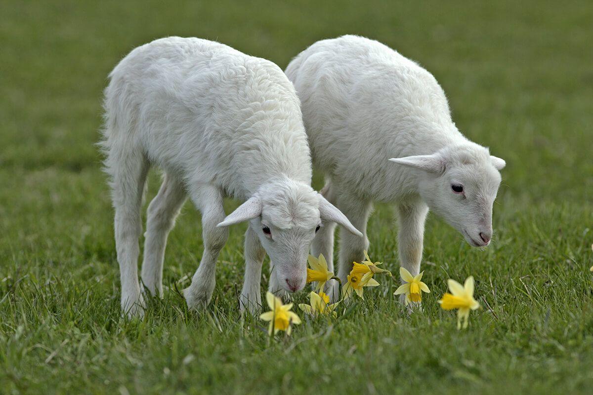 تفسير ذبح الخروف في المنام لابن سيرين موسوعة طيوف Sheep Breeds Sheep Animals