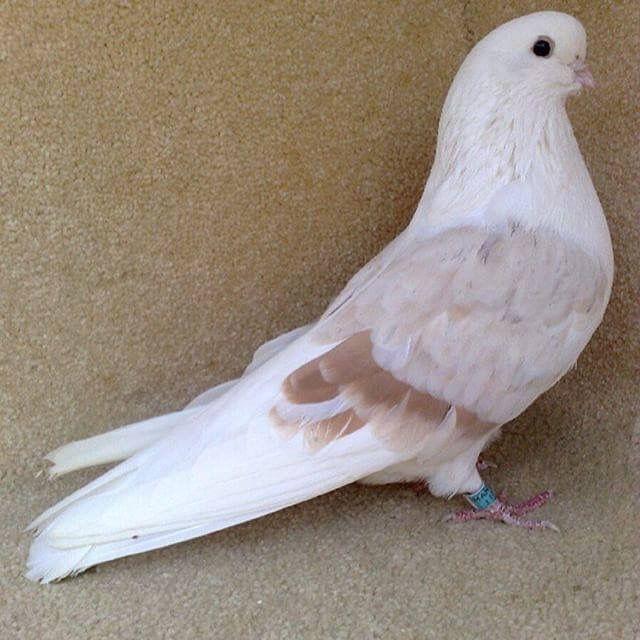 Pin Di Khadami Arsalan Su Domestic Pigeons Columba Livia F Domestica