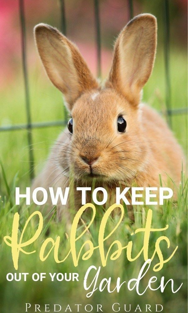 How to keep Rabbits out of the Garden  PredatorGuard com Blog is part of Garden pests - Learn how to keep rabbits out of your garden naturally with these tips and products  Wild rabbits have a knack for hiding in plain sight, and they're