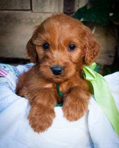 Irish Doodle Puppy For Sale Doodle Puppy Irish Doodle