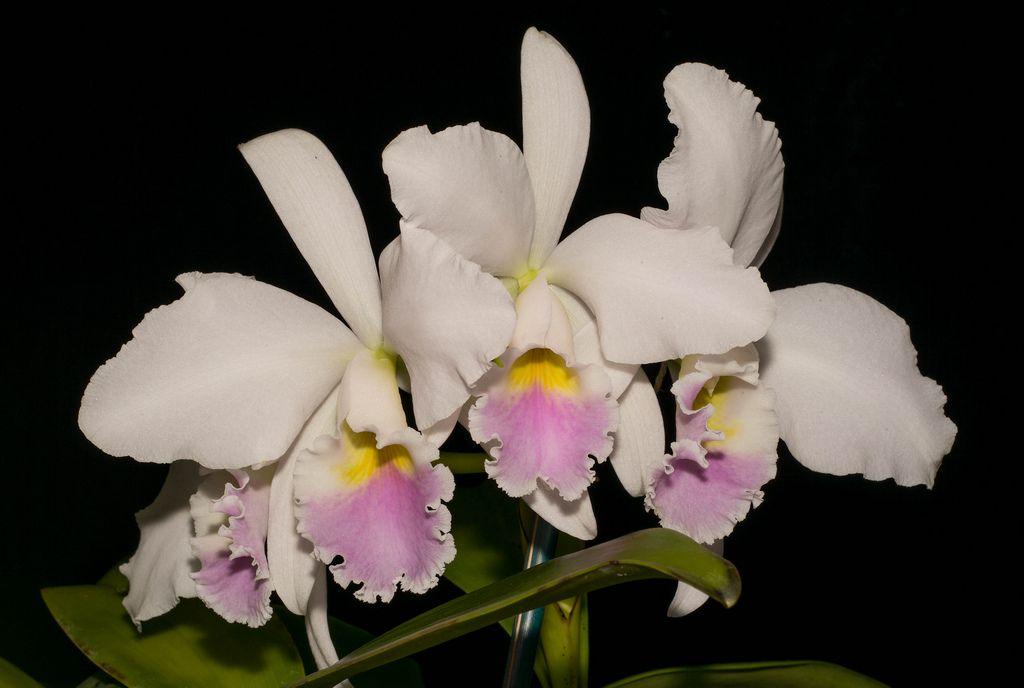 Cattleya Labiata Var Ameona Fowliana Cattleya Orchid Flower Orchids