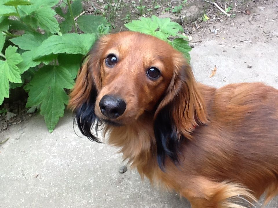 red long haired dachshund long haired dachshund red long