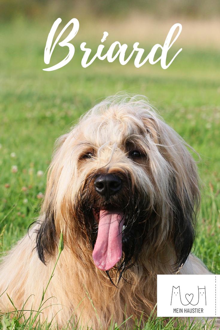 Der Berger De Brie Im Portrait Hunde Rassen Hunderassen Briard Hund