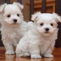 Nette Malteser Welpen Zur Adoption Offer Graz 300 Maltese Puppy Puppy Adoption Teacup Puppies Maltese