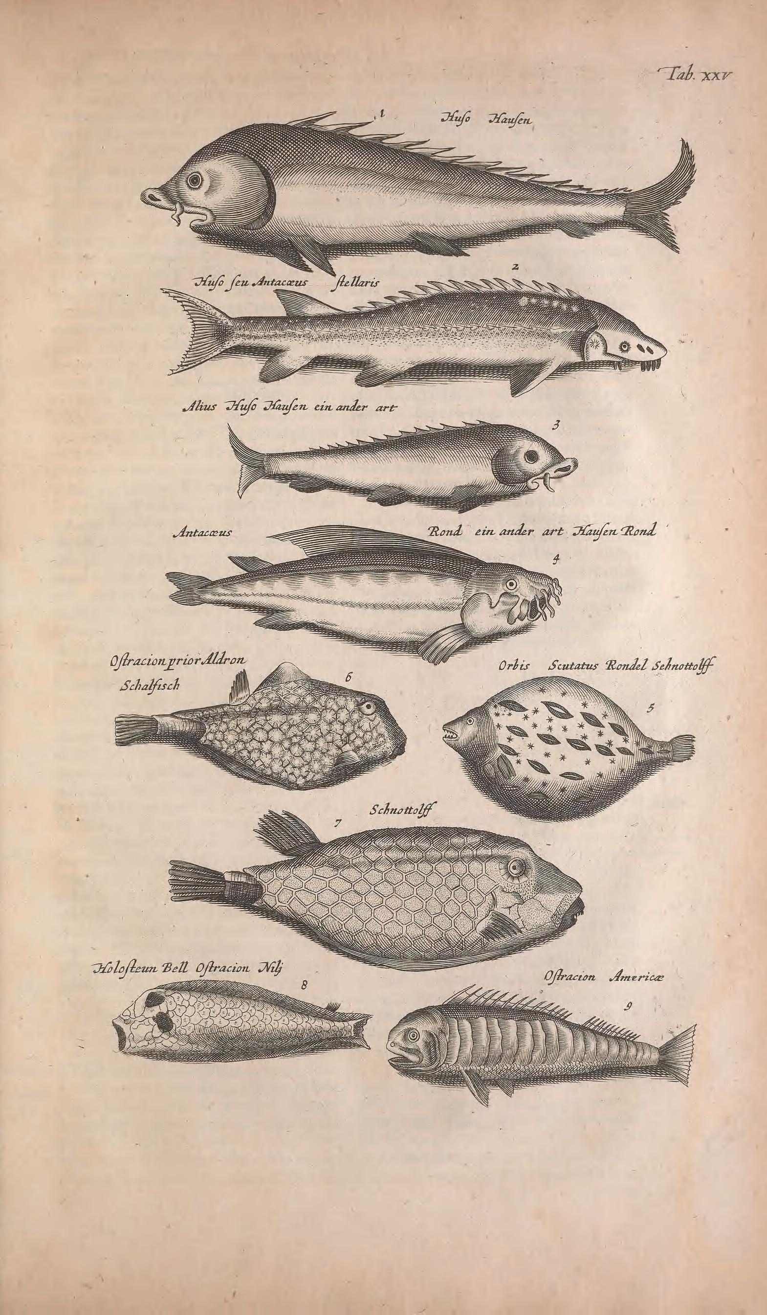 Joannes Jonstonus | Historiae naturalis de quadrupedibus libri: cum ...