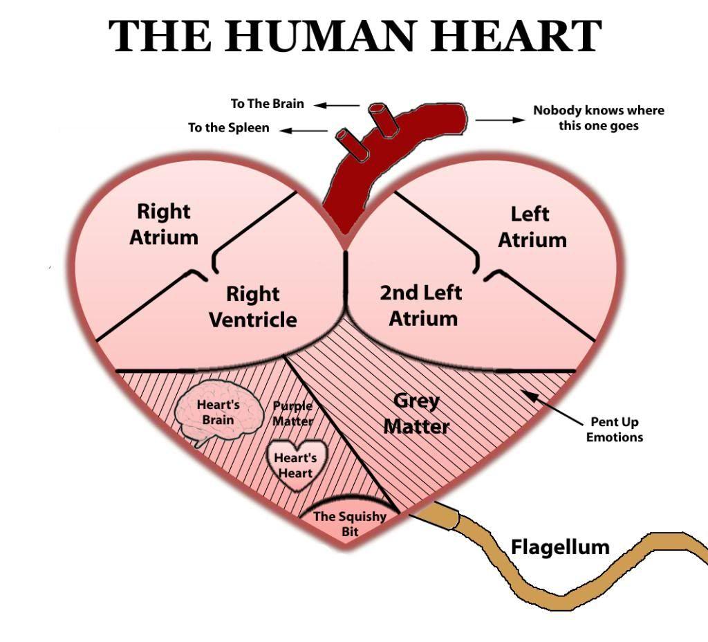 Heart diagram | Human heart diagram, Heart diagram, Simple ...