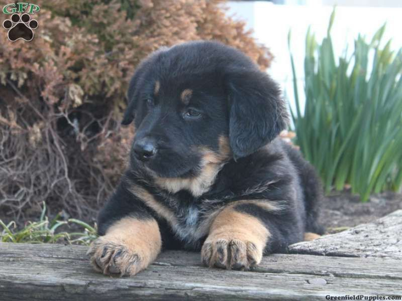 Bernese Mountain Dog Mixed With Mastiff Google Search