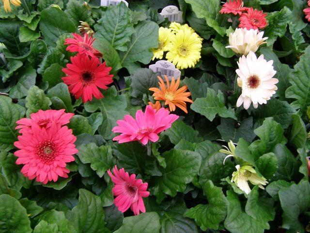 Lizzie S Logic Plant Of The Week Plants Backyard Flowers Garden Gerbera Daisy