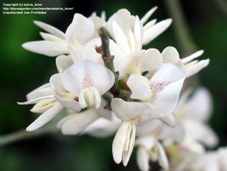 Today S Bloom Is White Weeping Broom Retama Raetam Orchid Flower Flowers Orchids