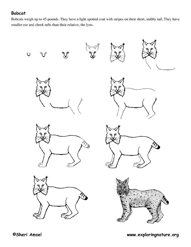 Pin By Kathy Nail On Bobcat Drawing Pinterest Draw Learn