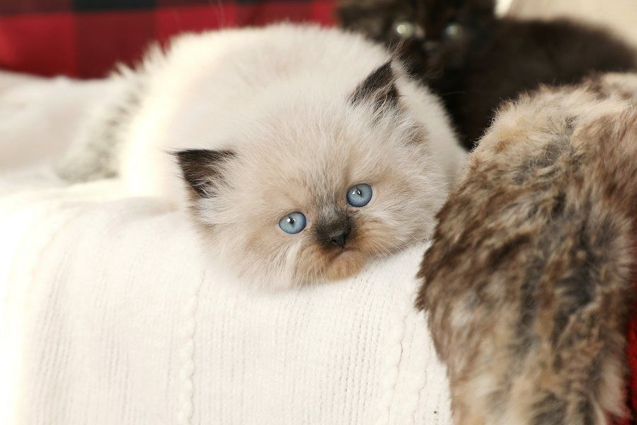Himalayan Kittens For Sale Himalayan Kittens For Sale Persian