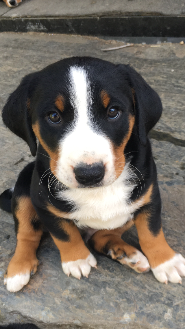 Appenzeller Sennenhund My New Puppy Appenzeller Dog Puppies I Love Dogs
