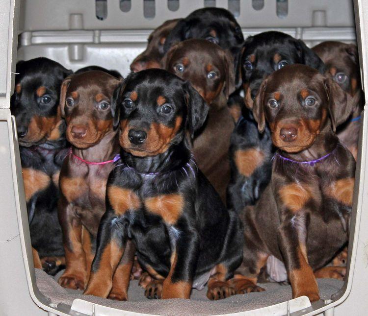 5 Week Old Doberman Puppies Champion Bloodline Red Doberman
