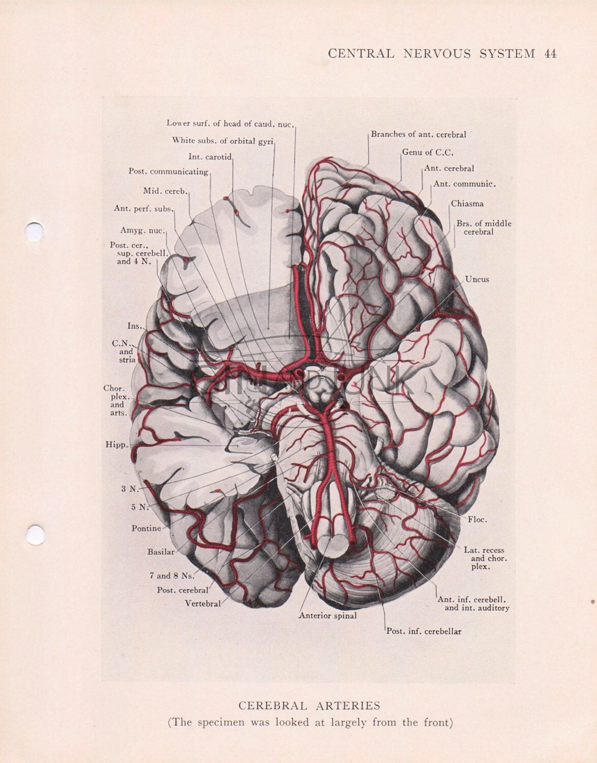 Antique illustration of the brain and the cerebral arteries human antique illustration of the brain and the cerebral arteries human anatomy human brain ccuart Image collections
