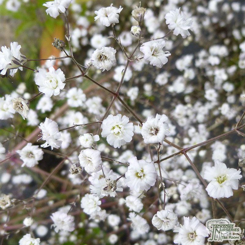 Gyypsophila Paniculata Bristol Fairy Garden Full Sun