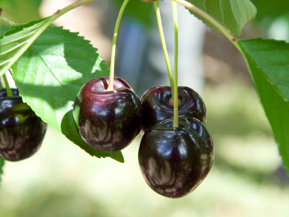 Ordinaire Choose The Best Fruit Trees For Your Garden
