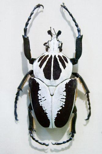 CC291 Goliathus regius Insect Museum   Flickr - Photo Sharing!
