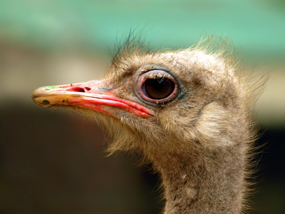 Ostrich Photo by Yasir Mehmood -- National Geographic Your Shot