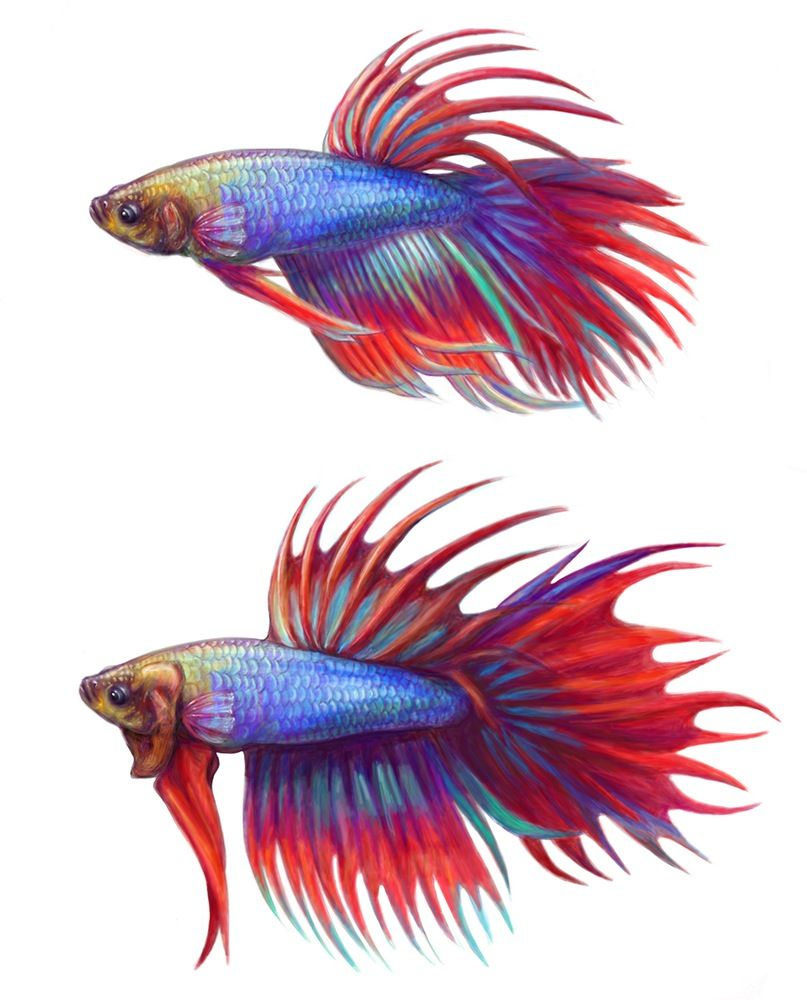The most Bad-Ass Betta Fish Board on Pinterest ♥ ♥ ♥ Click the ...