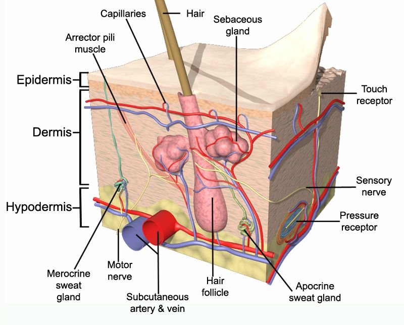 anatomy and physiology - Google Search | waxing | Pinterest