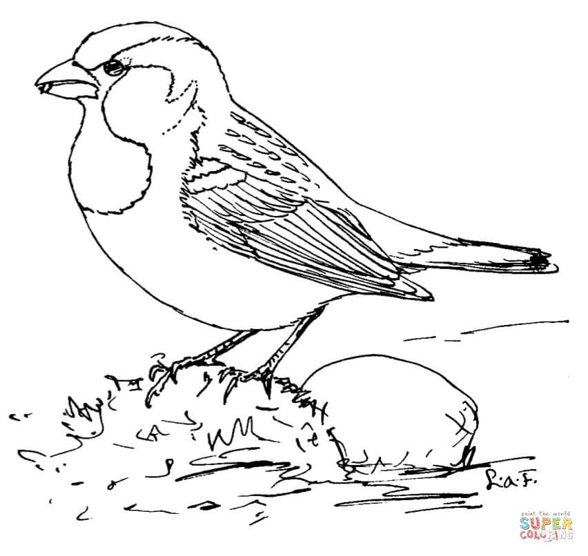 House Sparrow Super Coloring Bird Coloring Pages Coloring Pages