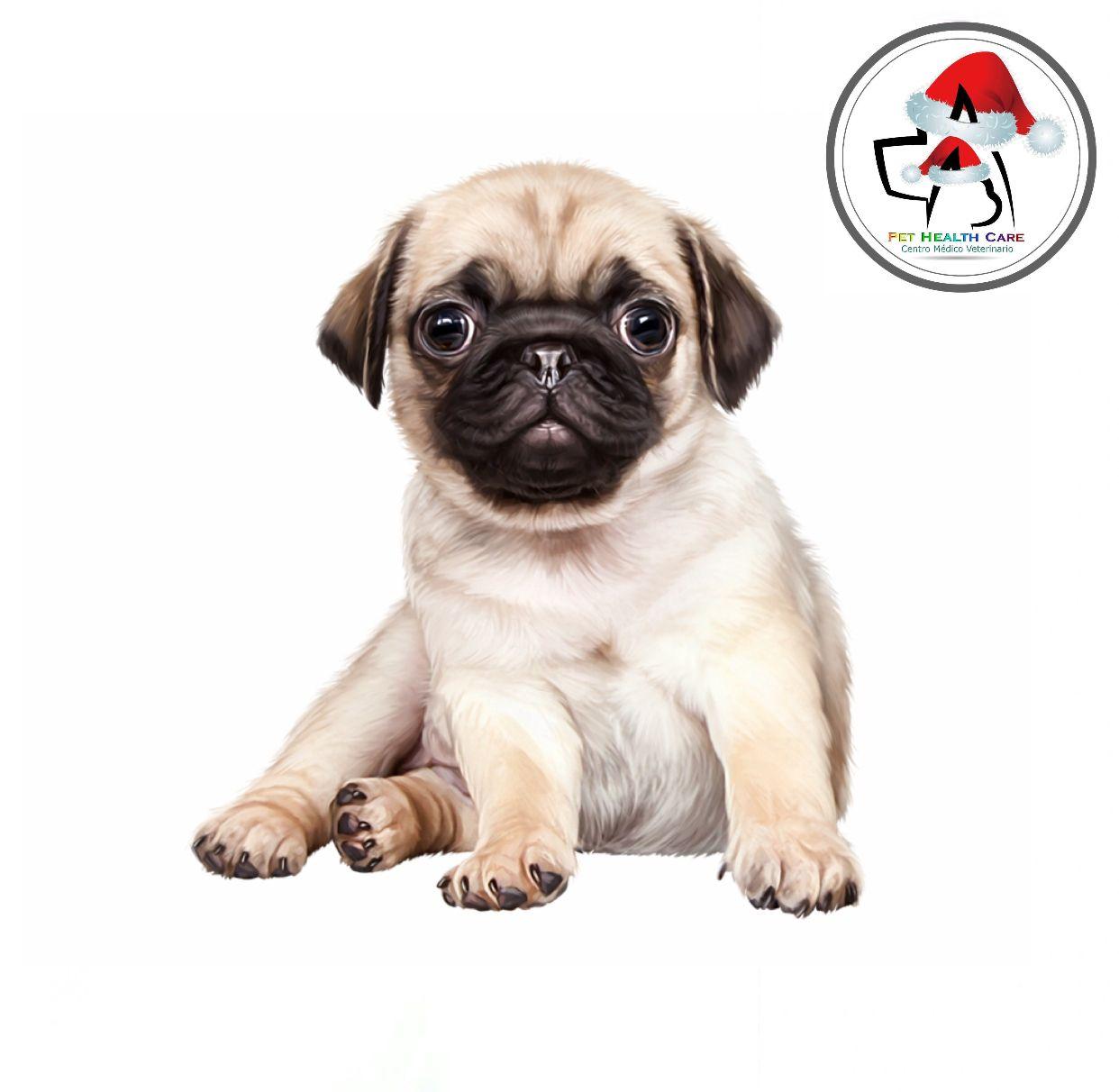 Descripcion Y Personalidad De Los Perros Raza Pug In 2020