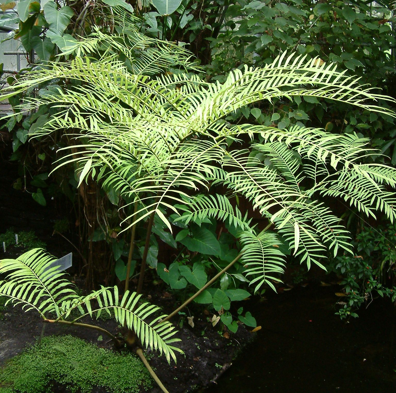 Marattia Is A Tropical Fern, One Of This Large Group