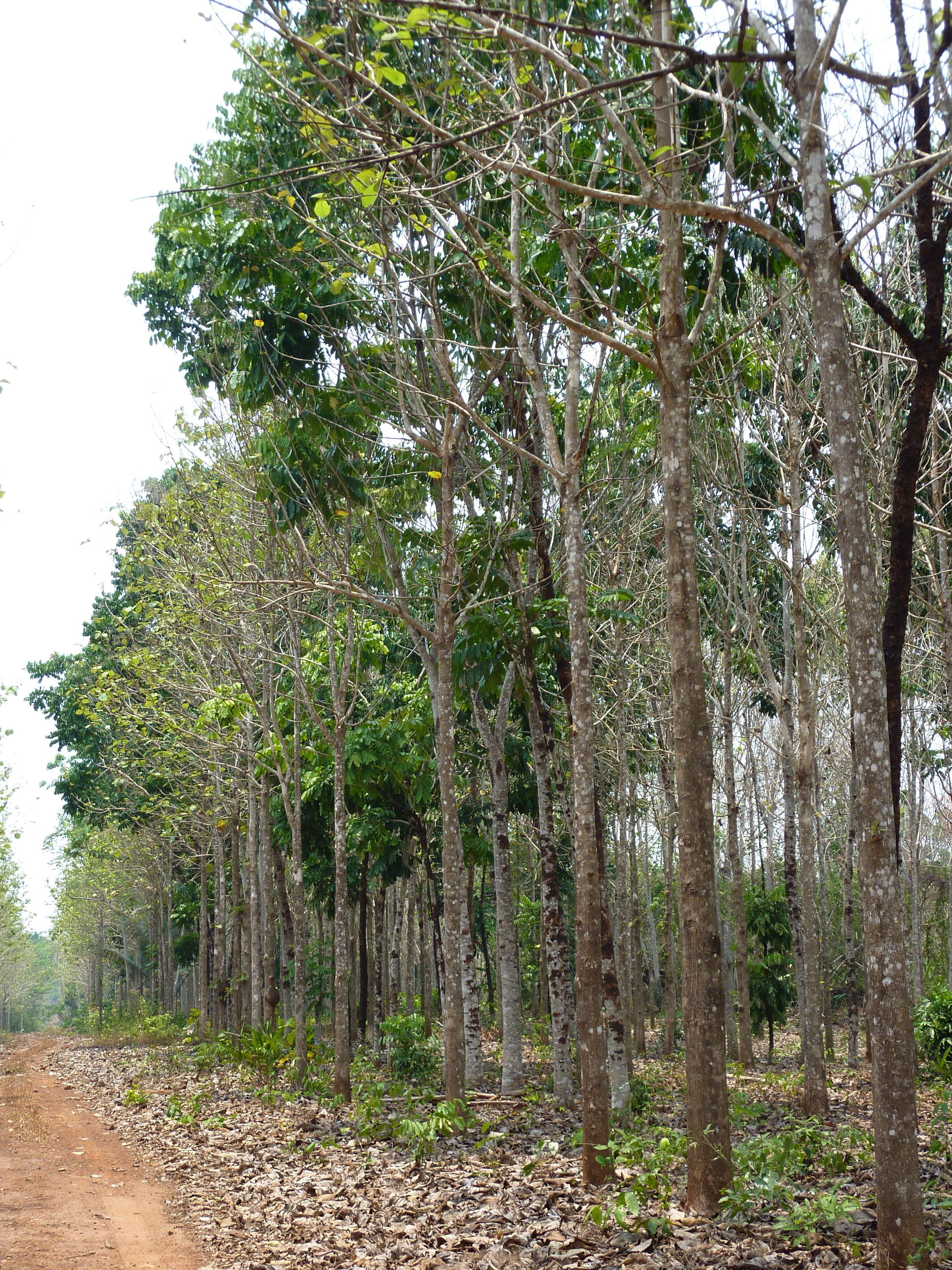 Teak plantation in Brazil | My South America Travels | Wood