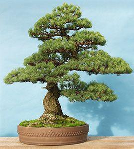 Pino Blanco Japones Pinus Parviflora Bonsai Bonsai Arboles Bonsai Bonsais