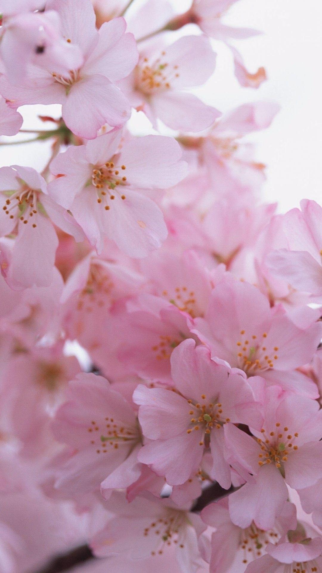 Iphone 6 wallpaper tumblr flower - Sakura Iphone 6 Plus Wallpaper 20971 Flowers Iphone 6 Plus Wallpapers