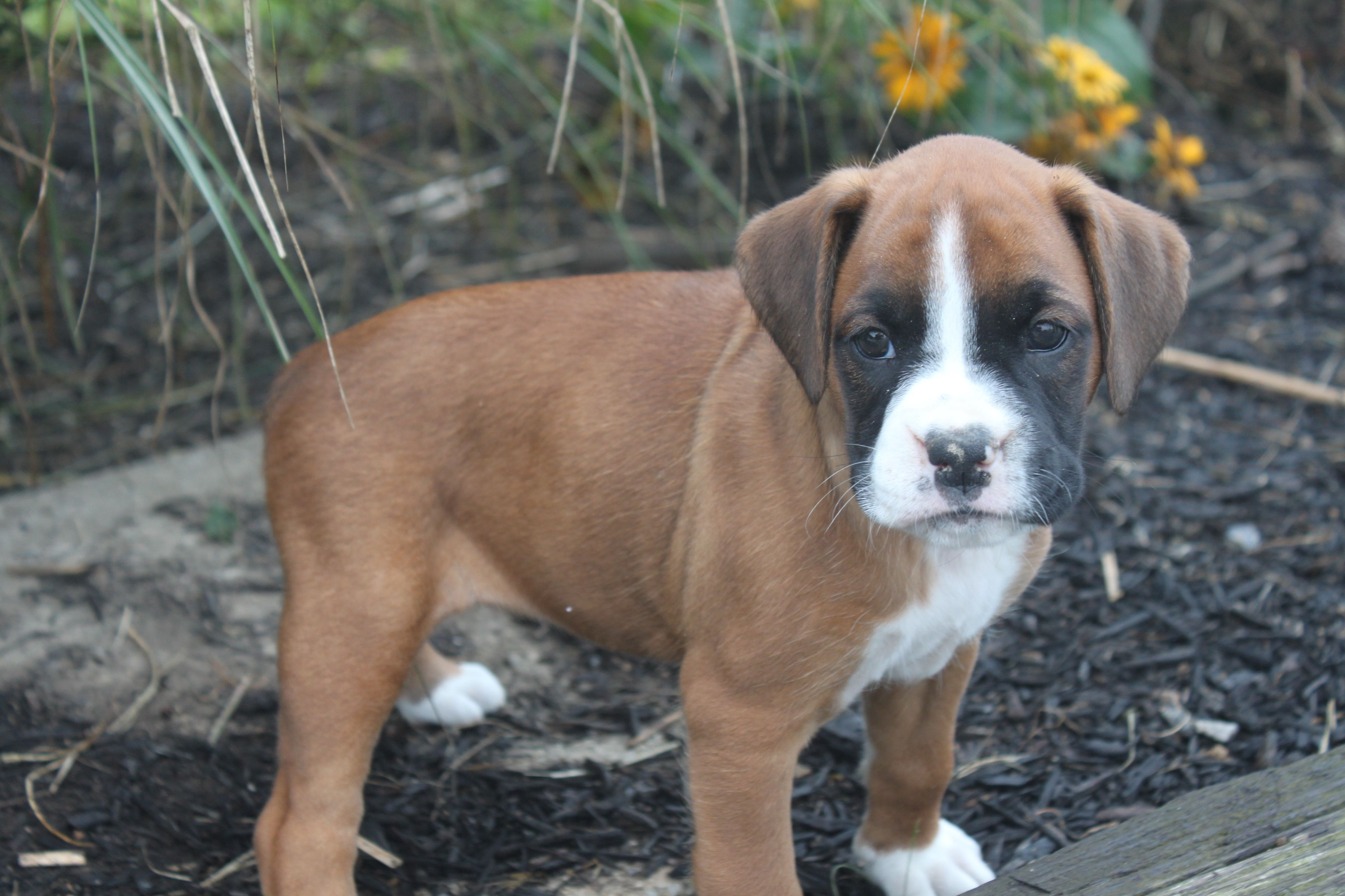 Boxer puppies For Sale This boxer is family raised with