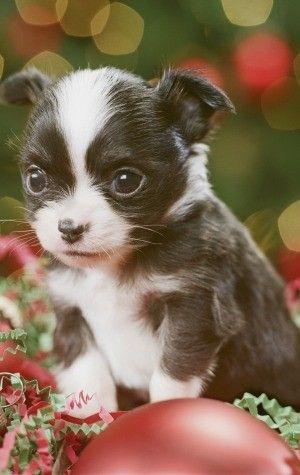 Cutest dog breeds Chihuahua puppy Chiuauas Pinterest Dog