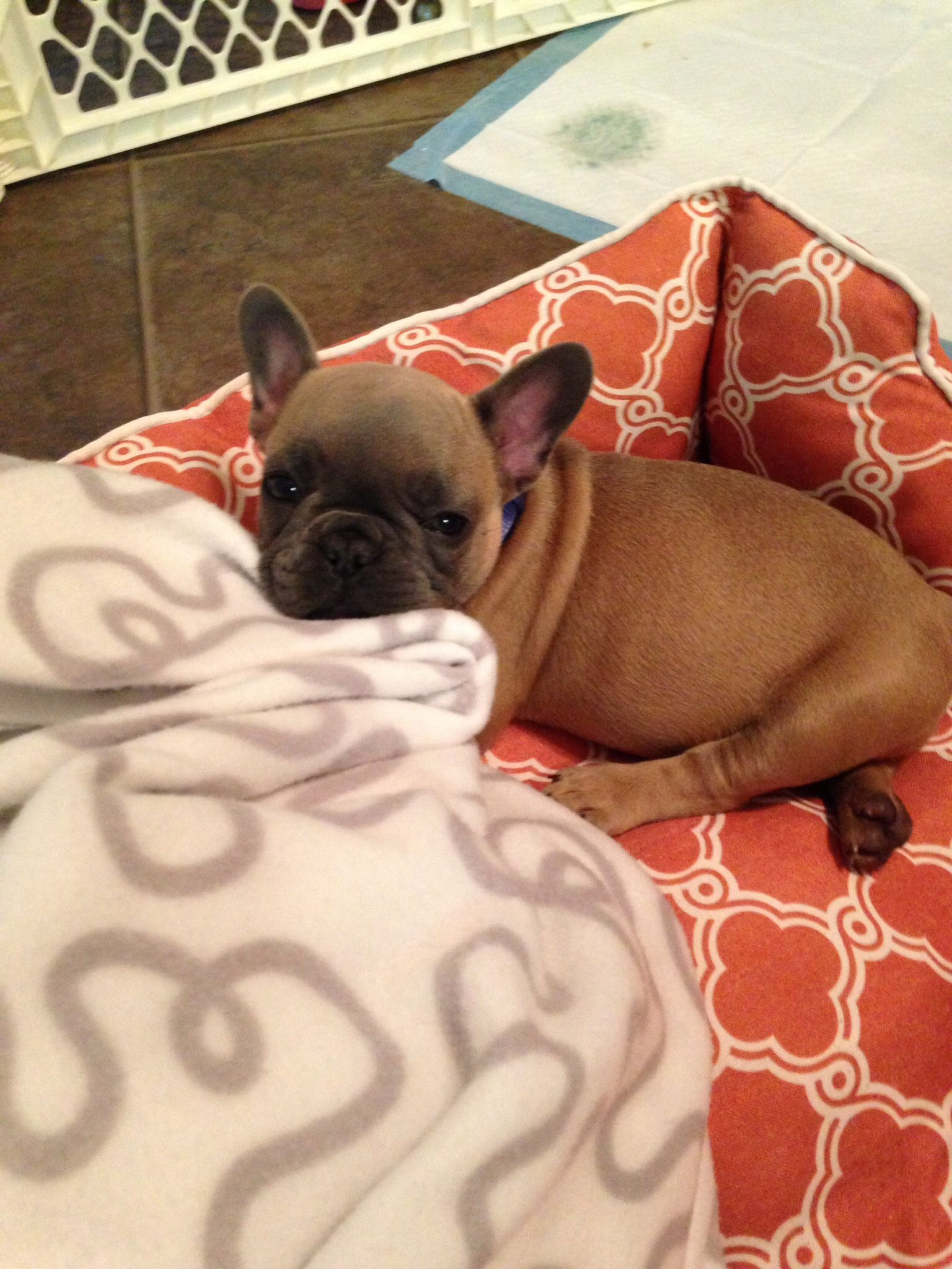Blue Male French Bulldog Puppies For Sale Kc Reg Wigan Greater